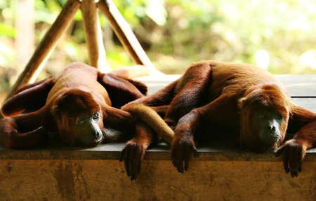 howler: Two Howler Monkeys look on from on top a wooden boardwalk