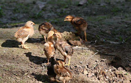 ranging: Small flock of young chickens free ranging in South America Stock Photo