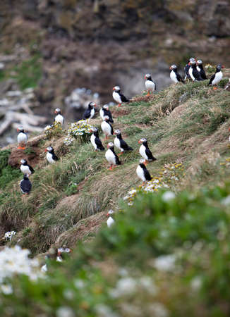 fratercula: An Atlantic Puffin colony on the cliffs of Grimsey Island, Iceland Stock Photo