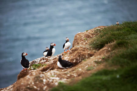 puffin: An Atlantic Puffin colony on the cliffs of Grimsey Island, Iceland Stock Photo