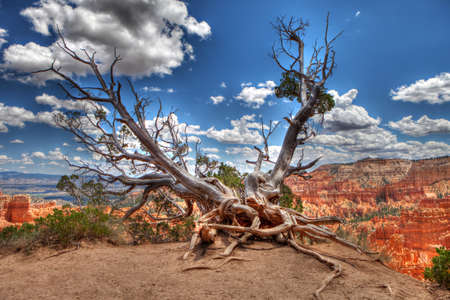 bristlecone: A Bristlecone Pine tree with exposed roots is perched on the edge of Bryce Canyon, Utah, United States Stock Photo