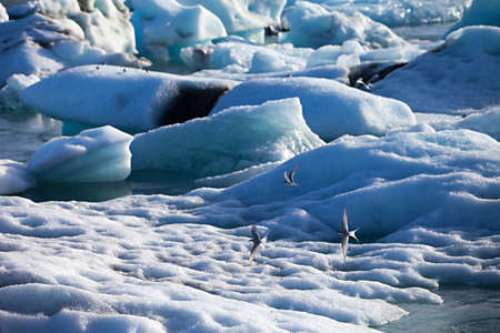 artic: An Artic Tern flys over icebergs floating out to sea at Jokulsarlon lake, Iceland