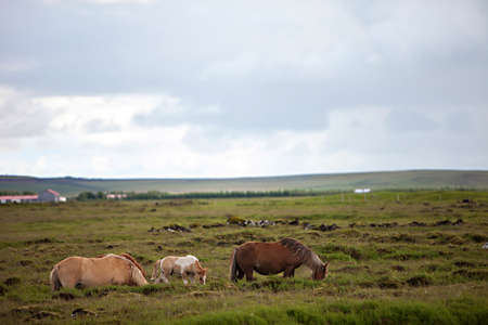 Beautiful Icelandic horses in a rocky green meadow photo