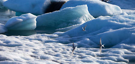 Artic Terns fly over icebergs floating out to sea at Jokulsarlon lake, Iceland
