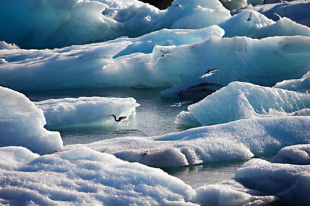 Artic Terns flying over melting glacier ice at Jokulsarlon lake caused by global warming
