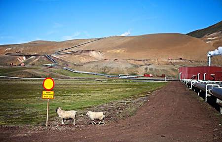 island�s: Ovejas de Islandia juguetona en Meadow Foto de archivo