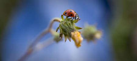 Ladybug walk along grasses and jeans photo
