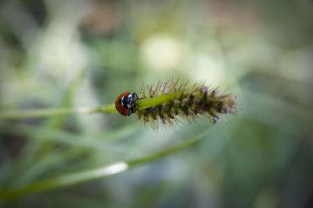 Ladybug walk along grasses photo