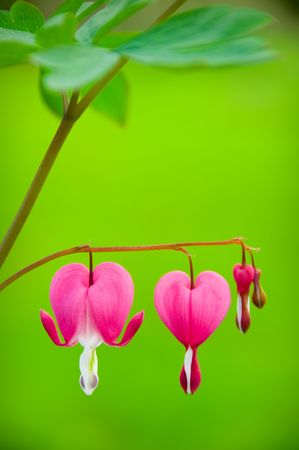Dicentra spectabilis also known as Venuss car, bleeding heart, or lyre flower photo