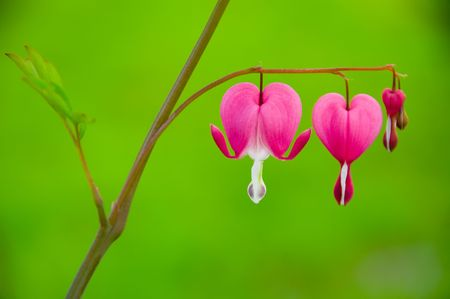 pity: Dicentra spectabilis also known as Venuss car, bleeding heart, or lyre flower