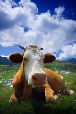 animal ear: Cow resting on green grass Stock Photo