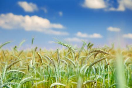 cultivo de trigo: Campo de trigo inmaduro en el fondo de cielo azul Foto de archivo