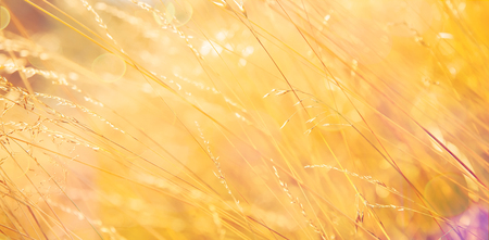 Beautiful golden grass  in the sun. Warm autumn background with colorful bright meadow during the sunset. Stock Photo