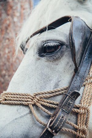A close up image of the white horse head. Beautiful animal in nature. Stock Photo
