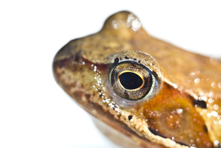 adherent: Head of beautiful toad