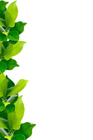 green leaves border: Green young plant border on white background