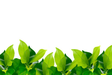 Green young leaves border on white background photo