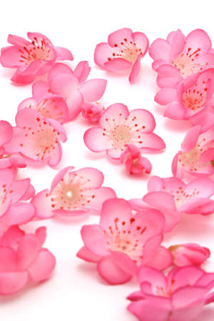 Plum blossoms on white background for lunar new year photo