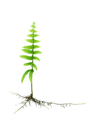 Young growing fern plant with roots isolated on white background photo