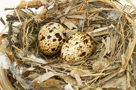 huevos de codorniz: Huevos de dos codorniz en nido aislado en blanco