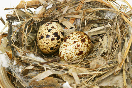 Two quail eggs in nest isolated on white photo