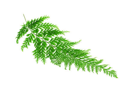 Tropical fern leaf on white background photo