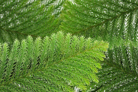 Evergreen coniferous leaves background Stock Photo - 10412199