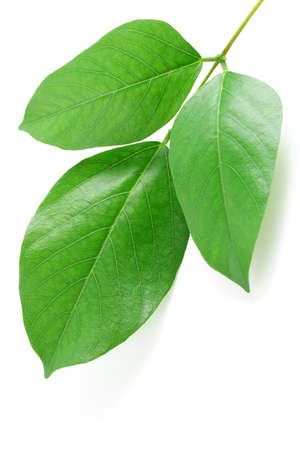 copy sapce: Close up of green leaves on white background with copy sapce