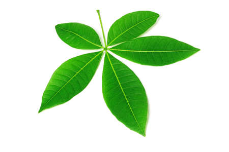 five petals: Five Petals Green Leaves on White Background