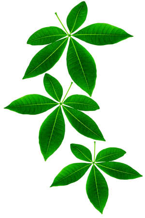 five petals: Green Leaves on white Background