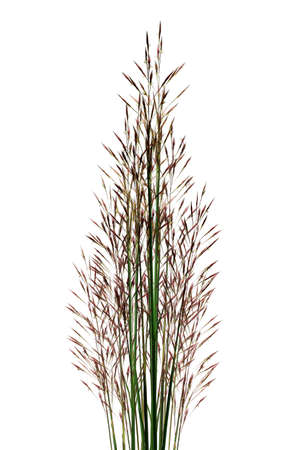 Bunch of Tropical Grass Stalks on White Background