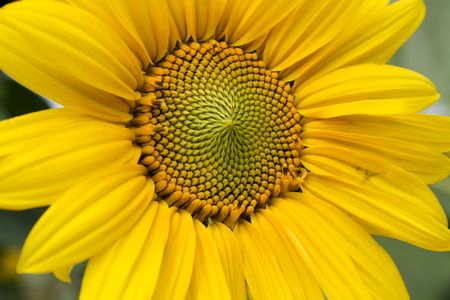 Giant Yellow Sunflower