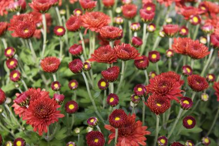 Red Crysanthemum Blooms Stock Photo - 7911306