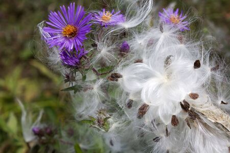 Milkweed Feathers on Asters