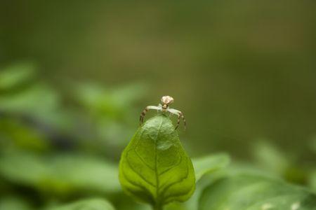 Spider on Oregano Stock Photo