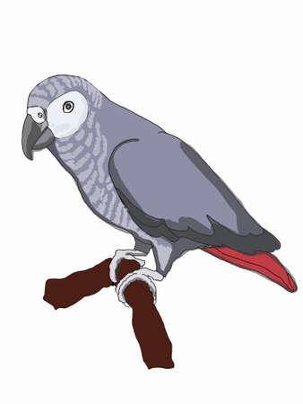 Gray parrot, jaco, illustration drawing