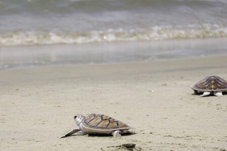 tortuga verde, Tailandia