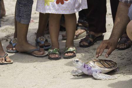 chelonia: green turtle, Thailand