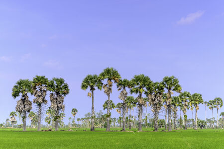 background of blue sky, sugar plam tree and rice field photo