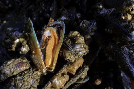 viridis: Asian green mussel,Perna viridis