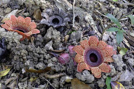 plantae: Sapria himalayana, Thailand Stock Photo