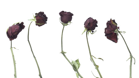 시든 장미