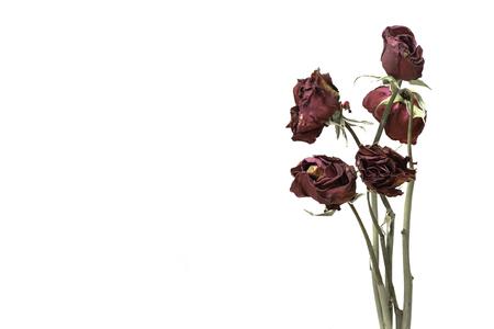 rosa negra: rosa marchita Foto de archivo