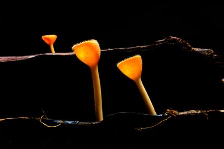 fungi: orange fungi cup, Thailand