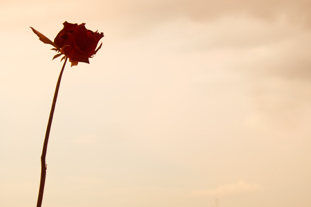 wither: Silhouette of rose wither on sky background Stock Photo