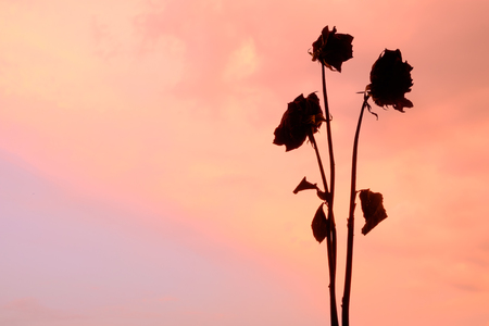 Silhouette of rose wither on sky background Stock Photo