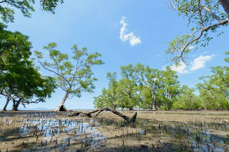 folkways: Sonneratia caseolaris, also known as mangrove apple or crabapple mangrove in the sea after ebb tide