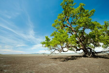 background of ebb tide and sonneratia caseolaris, also known as mangrove apple or crabapple mangrove , Thailand