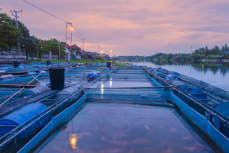 morning time, fish(Nile tiapia) farm in the river for business, Thailand