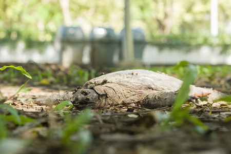 dead of COMMON SIAMESE SOFT SHELLED TURTLE in the park